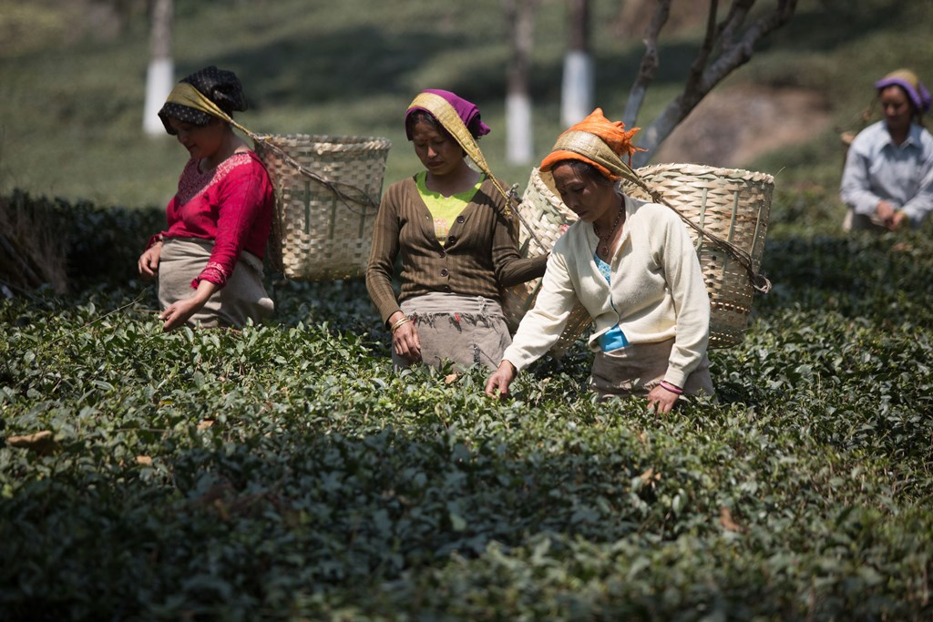 tea industry Today indian tea industry is having 1692 registered tea manufacturers, 2200 registered tea exporters 5548 number of registered tea buyers and nine tea auction centers geographical distribution.
